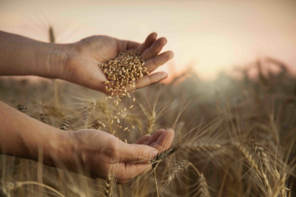 Weizenfeld, Hände streuen Weizen von der einen Hand in die andere Hand