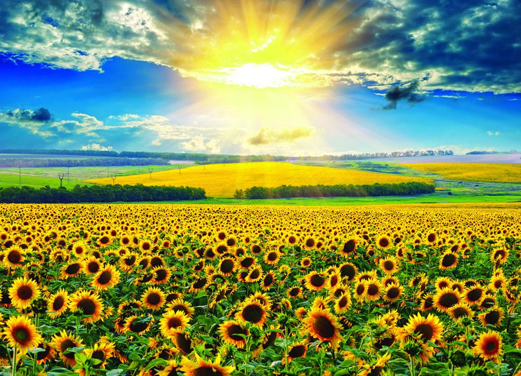 Sonnenblumenfeld im Morgenlicht